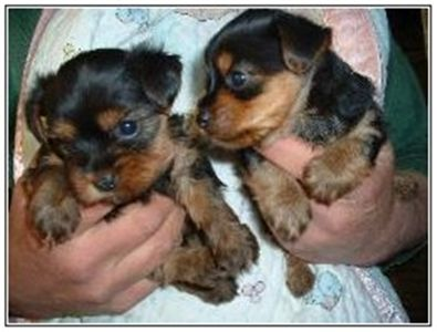 lovelyyorkiesforadoption