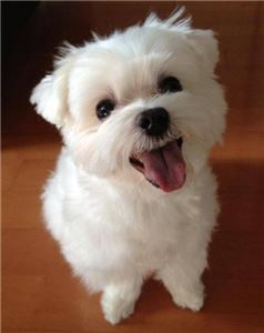 HappyHealthyteacupMaltesePuppies