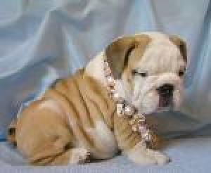 AKCRegisterEnglishBulldogPuppiesforadoption
