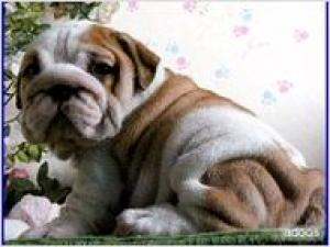 EnglishBulldogPuppiesForFreeAdoption