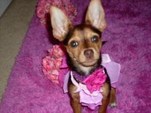 ChihuahuaYorkieMix