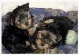 cuteyorkiepuppies
