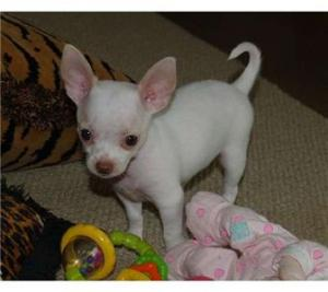 adorablechihuahuapuppiesforadoption