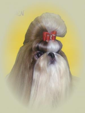 ChampionSiredShihTzu