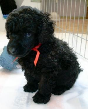 Blackminiaturepoodle