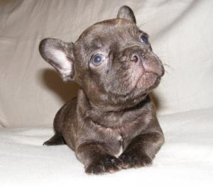 Chocolatefrenchbulldogpuppy
