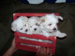 MultipooPuppies