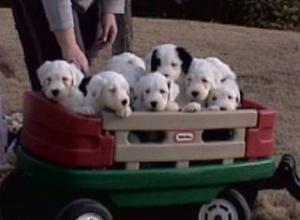 OldEnglishSheepdogPuppies