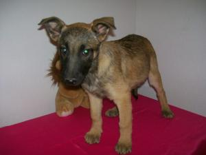 GermanMalinois-LifetimeGuarantee