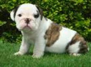 lovelylovelyenglishbulldogforadoption