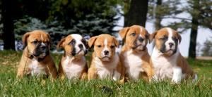 OldeEnglishBulldogpups