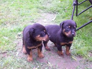 RottweilerDobermanMixPuppies