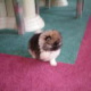 KingCharlesPuppy