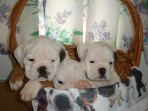 AKCEnglishBulldogpuppies