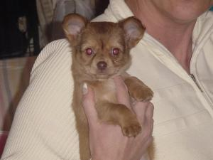 chihuahuapuppieforsale
