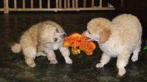 Poodlepuppiesforsale
