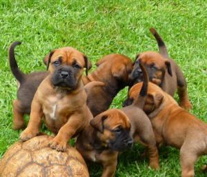 SouthAfricanBoerboelPuppies