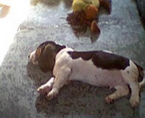 BassetHoundPuppiesforsale