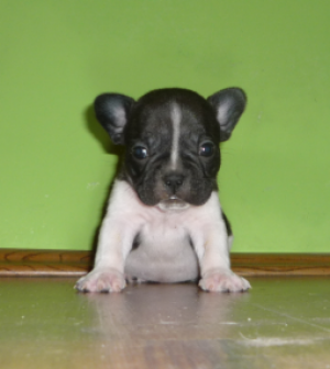 beautifullittlefrenchbulldogforsale
