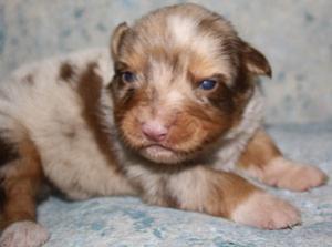 AKCAustralianShepherdPuppies