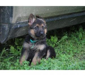 GermanShepherdpuppiesavailableatPoddarkenne
