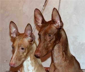 Pharaohhoundpuppies