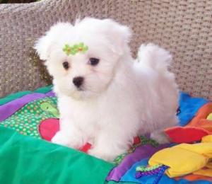 AdorableMaltesePuppiesForFreeAdoption