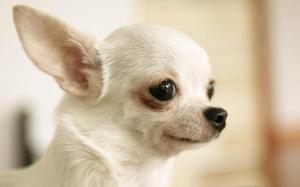 ChihuahuasPuppiessaleinConnecticut