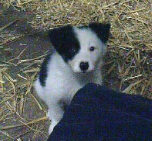 BorderColliePuppies