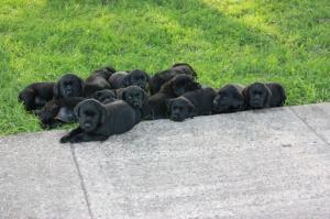 BritishBlackLabPuppies