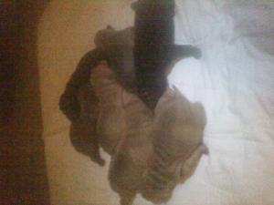 newbornsharpeipuppies
