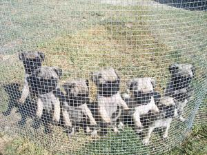 SixAKCLitterregisteredpugpuppies