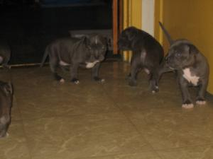 bluenosepurebredpitbullpuppiesforsale