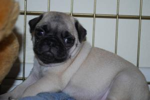 CutePugPuppies-weeksold