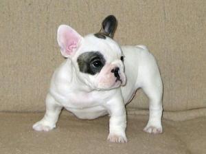 Frenchbulldogpuppiesforsale