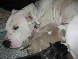 Purbredpitbullpuppies