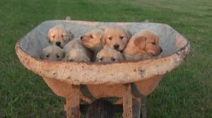 AKCGoldenRetrieverPuppies