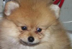 Pomeranianpuppiesforsale