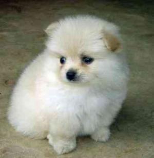 PomeranianPuppiesforsaleatx-mas