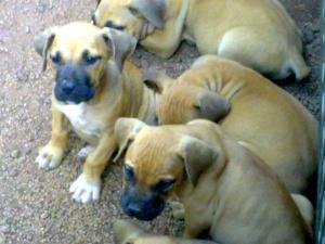 BoerboelPuppies