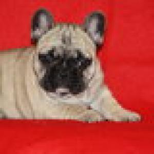 Frenchbulldogpuppy