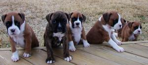 RegisteredBoxerPuppies