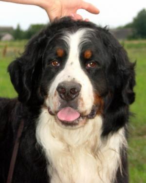 BerneseMounteinDog-puppiesinsale