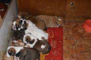Womderfullenglishbulldogspuppiesforsale