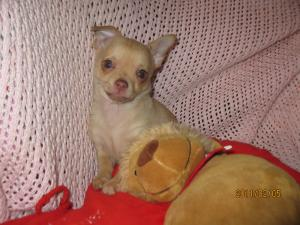 Chihuahuapuppyforsale