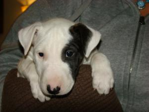 AKCEnglishBullTerrierPups