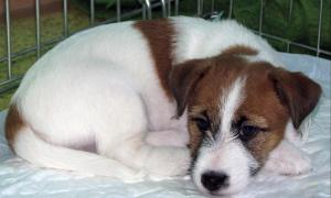 JackRussellTerrierpuppies