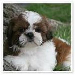 Shih-TzuPuppies-Imperials