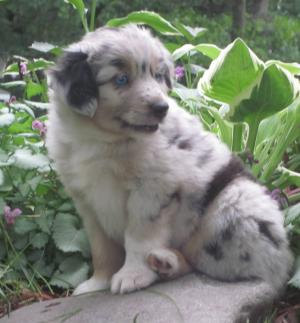 MinatureAustralianShepherds