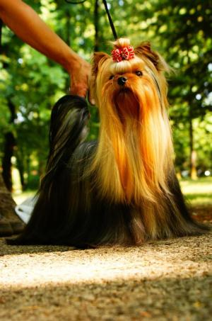Yorkshireterrier